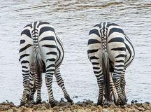 Zebras in der Savanne kenia tanzania Chiang Mai serengeti Maasai Mara Stockbild