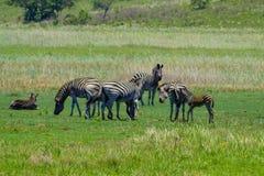 Zebras in der Savanne Mosambik Afrika stockfotografie