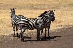 Zebras in der Serengeti-Savanne stockfotos