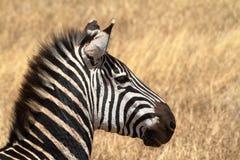 Zebras in der Serengeti-Savanne stockfotografie