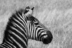 Zebras in der Serengeti-Savanne lizenzfreie stockfotos