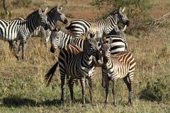 Zebras in der Serengeti-Savanne lizenzfreies stockfoto
