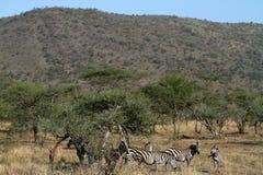 Zebras in der Serengeti-Savanne stockbilder