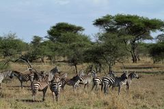 Zebras in der Serengeti-Savanne stockbild