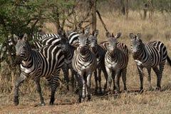 Zebras in der Serengeti-Savanne lizenzfreies stockbild