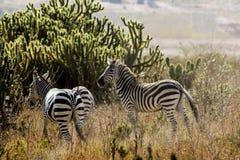 Zebras in der wilden Natur Lizenzfreie Stockfotos