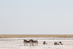 Zebras on desert plain Royalty Free Stock Photography