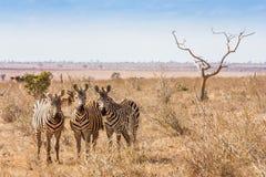 Zebras die aan de camera kijkt Royalty-vrije Stock Afbeeldingen