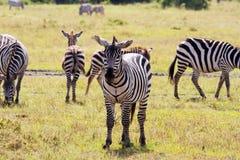 Zebras die in alle richtingen kijken stock afbeeldingen