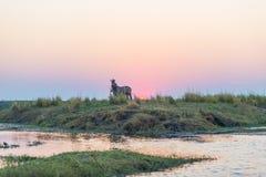 Zebras, die auf Chobe-Flussbank in der Hintergrundbeleuchtung bei Sonnenuntergang gehen Szenisches buntes Sonnenlicht am Horizont Lizenzfreies Stockbild