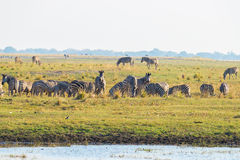 Zebras, die auf Chobe-Flussbank in der Hintergrundbeleuchtung bei Sonnenuntergang gehen Szenisches buntes Sonnenlicht am Horizont lizenzfreie stockbilder