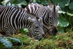 Zebras, die auf Gras einziehen Stockfoto