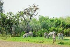 Zebras, die das Gras auf archiviert essen stockbilder