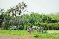 Zebras, die das Gras auf archiviert essen stockfoto