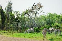 Zebras, die das Gras auf archiviert essen stockbild