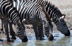 Zebras, die an der Wasserstelle trinken lizenzfreies stockfoto
