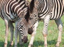 Zebras, die einen nahen Moment teilen Lizenzfreie Stockbilder