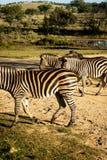 Zebras, die einen Schotterweg kreuzen stockfoto