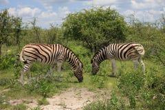 Zebras die en in de struiken van het park Etosha eten weiden Stock Afbeeldingen