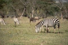 Zebras die gras eet Stock Afbeelding