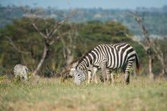 Zebras die gras eet Stock Foto