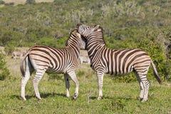 Zebras die hoofden wrijven Royalty-vrije Stock Afbeeldingen