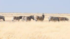 Zebras, die im Busch, afrikanische Savanne weiden lassen Safari der wild lebenden Tiere, Nationalpark Etosha, Reserven der wild l stockbild