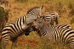 Zebras, die im Nairobi-Nationalpark, Kenia kämpfen Stockfotos
