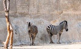 Zebras, die im Schatten der Klippe stehen Stockfotos
