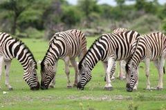 Zebras, die mit Gras speisen Lizenzfreie Stockfotografie