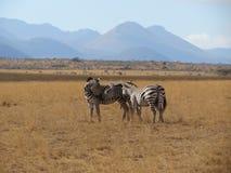 Zebras, die Neigung zeigen Stockfotos
