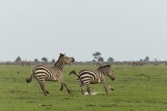 Zebras die op de weiden lopen royalty-vrije stock afbeelding