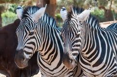 Zebras die op een rij slapen Royalty-vrije Stock Afbeelding
