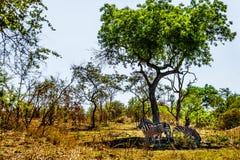 Zebras die schaduw zoeken onder een boom in de hitte van dag in het Nationale Park van Kruger stock afbeelding