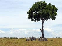 Zebras, die von der Sonne sich verstecken Stockbild