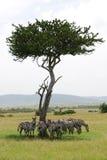 Zebras, die von der Sonne sich verstecken Lizenzfreies Stockfoto