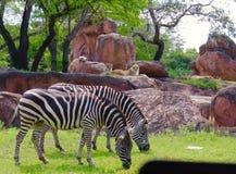 Zebras, die von hinten aufgepasst werden Stockbilder