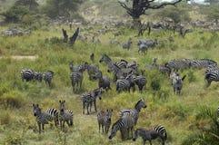 Zebras die zich in de Lente verzamelt. Tanzania stock foto's