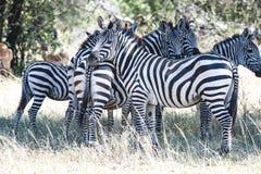 Zebras die zich in Serengeti, Tanzania verenigen Stock Foto