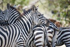 Zebras die zich in Serengeti, Tanzania verenigen Royalty-vrije Stock Fotografie
