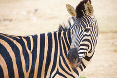 Zebras in dierentuin Royalty-vrije Stock Afbeeldingen