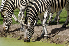 Zebras are dirnking water Royalty Free Stock Photography