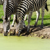 Zebras are dirnking water Stock Photo