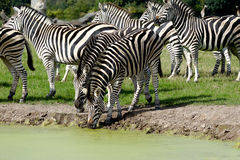Zebras are dirnking water Stock Images