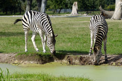 Zebras are dirnking water Royalty Free Stock Image