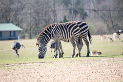 Zebras do ` s de Grant Fotos de Stock Royalty Free