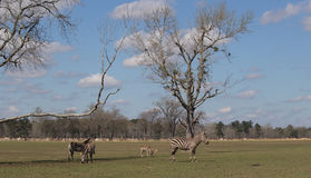Zebras do ` s de Grant Imagens de Stock Royalty Free