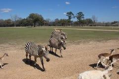 Zebras do ` s de Grant Fotografia de Stock Royalty Free