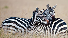 Zebras dos pares no savana Foto de Stock Royalty Free