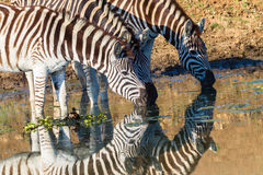 Zebras drei trinkende Spiegel-Farben Lizenzfreie Stockfotos